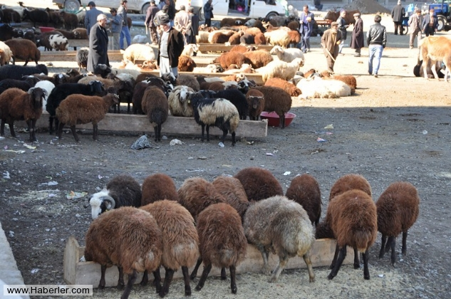 kurbanlik-koyunlar